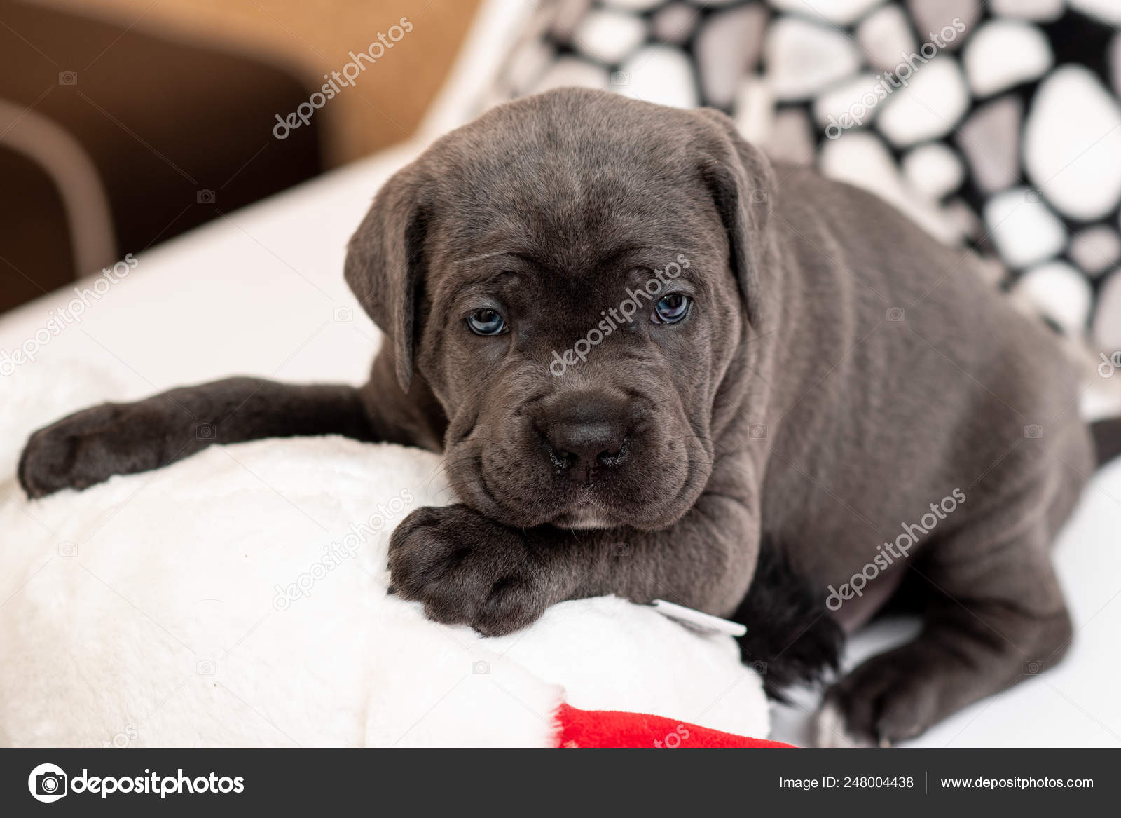 Puppy Breed Cane Corso Lies On A Light Pillow Stock Photo C Bondarjuri232 Gmail Com 248004438
