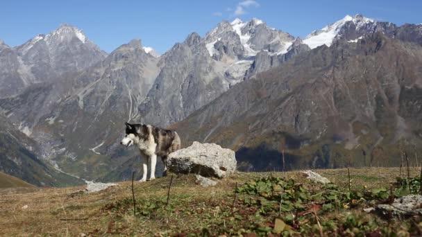 Šťastný pes husky v horách
