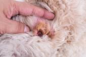 VET ukazuje ucho suché kůže na psa naznačuje projevem sluchová hematom
