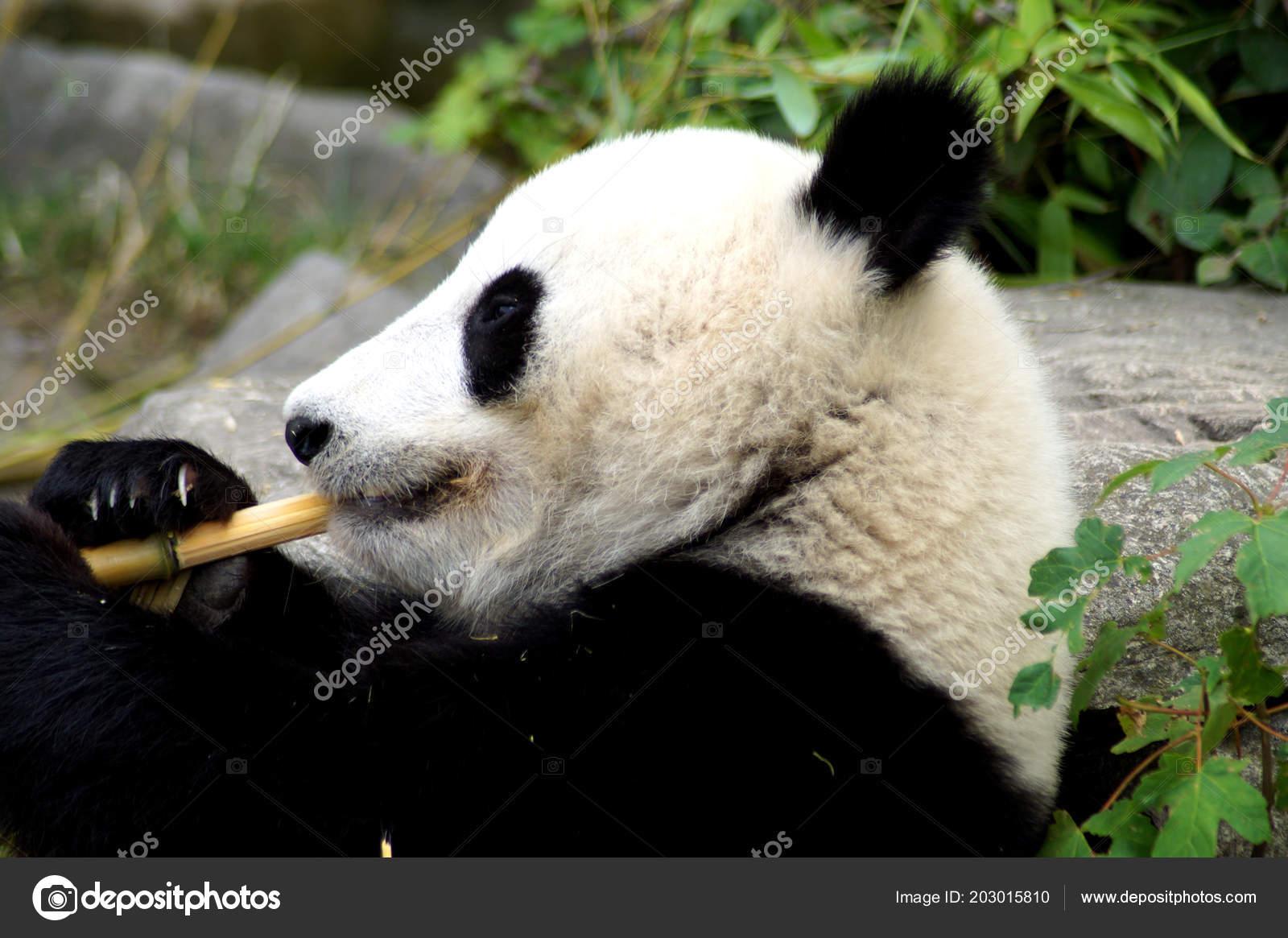 Groer Pandabr Beim Bambus Essen Stock Photo C Spiderwoman81 203015810