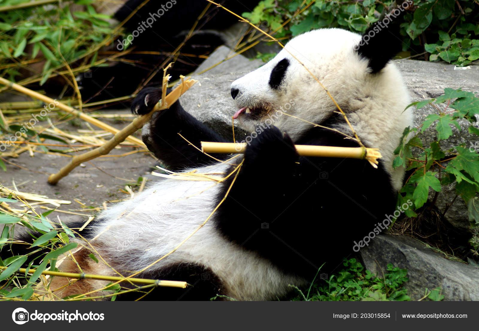 Groer Pandabr Beim Bambus Essen Stock Photo C Spiderwoman81 203015854