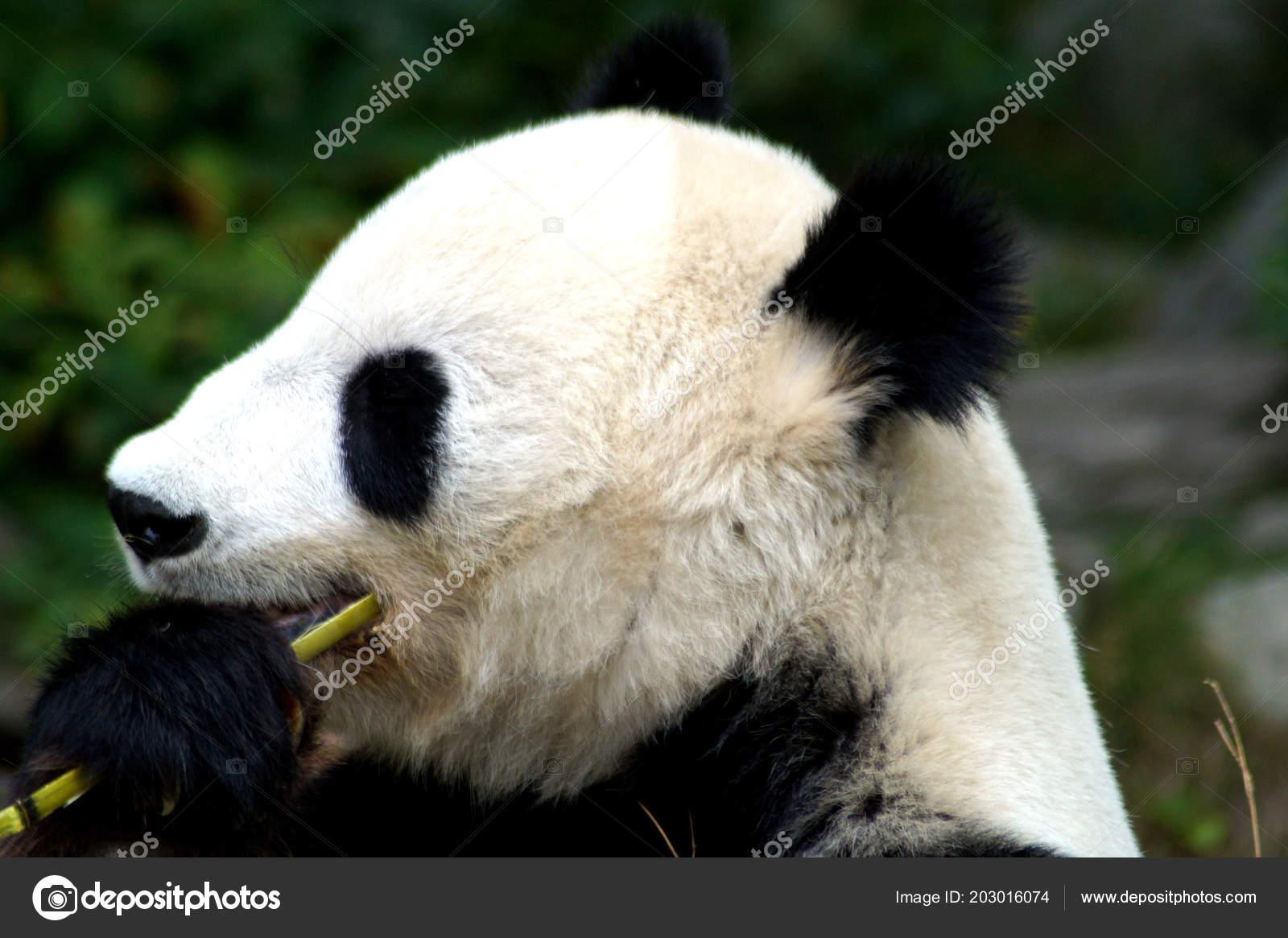 Groer Pandabr Beim Bambus Essen Stock Photo C Spiderwoman81 203016074