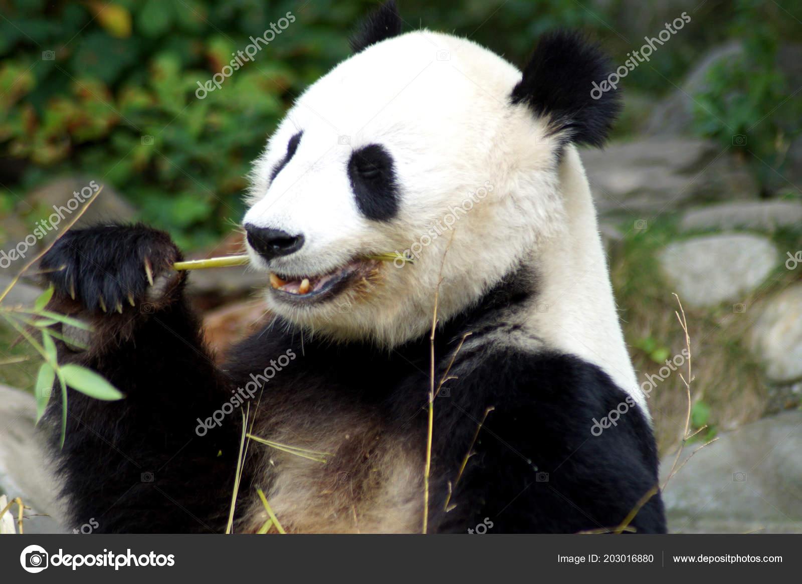 Groer Pandabr Beim Bambus Essen Stock Photo C Spiderwoman81 203016880