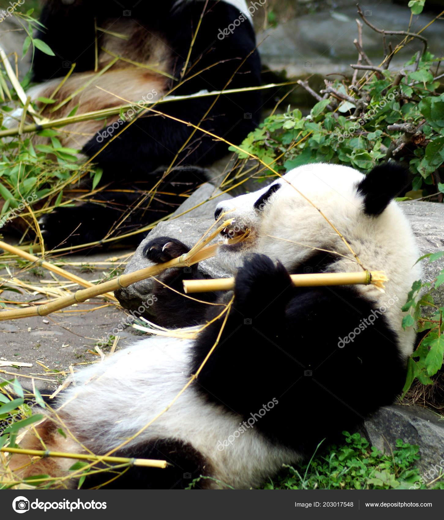 Groer Pandabr Beim Bambus Essen Stock Photo C Spiderwoman81 203017548