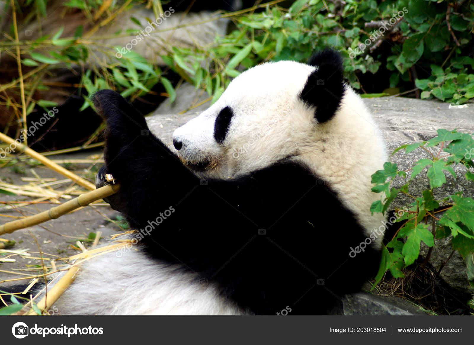 Groer Pandabr Beim Bambus Essen Stock Photo C Spiderwoman81 203018504