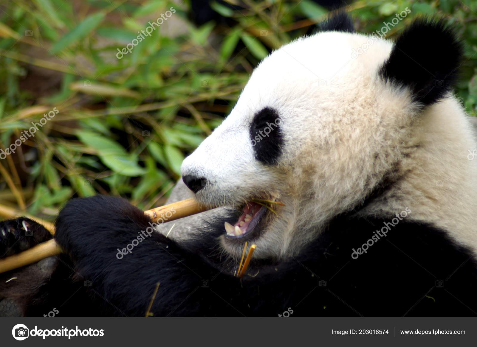Groer Pandabr Beim Bambus Essen Stock Photo C Spiderwoman81 203018574