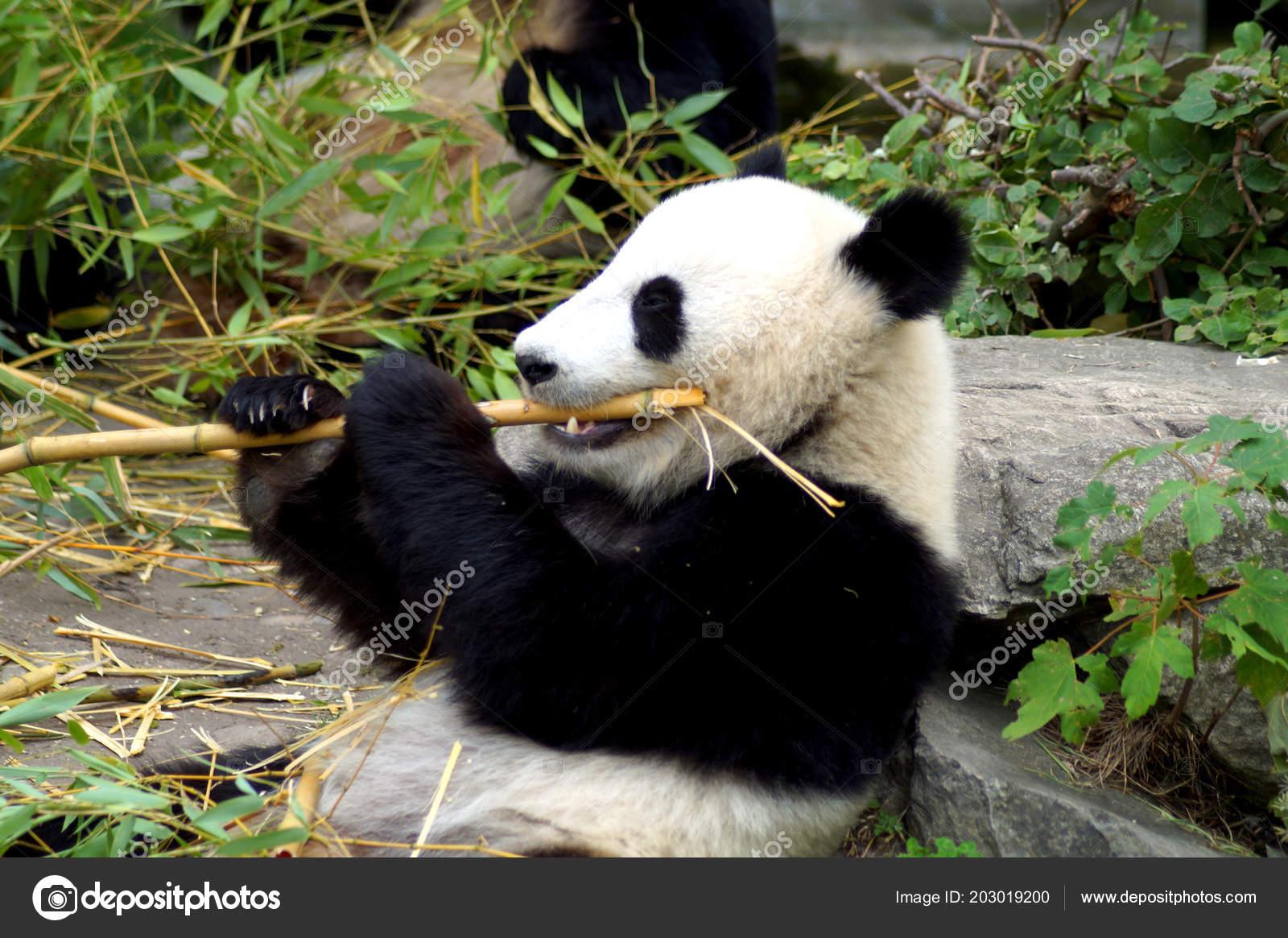 Groer Pandabr Beim Bambus Essen Stock Photo C Spiderwoman81 203019200