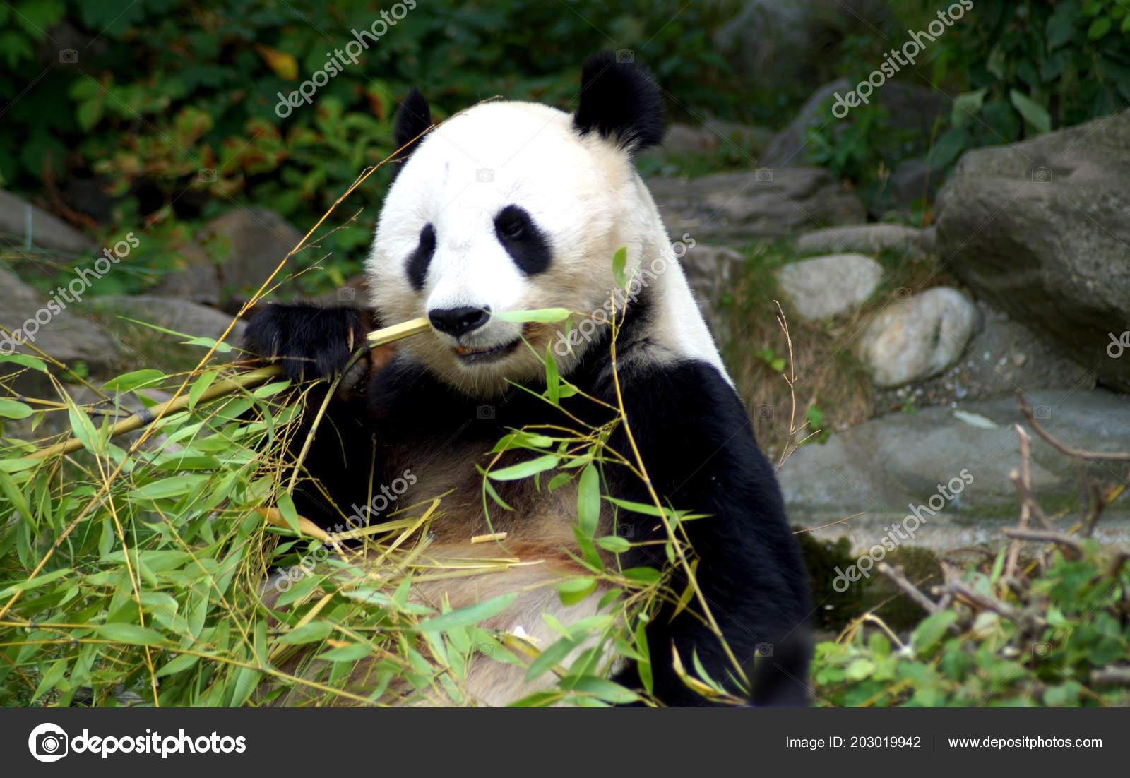 Groer Pandabr Beim Bambus Essen Stock Photo C Spiderwoman81 203019942