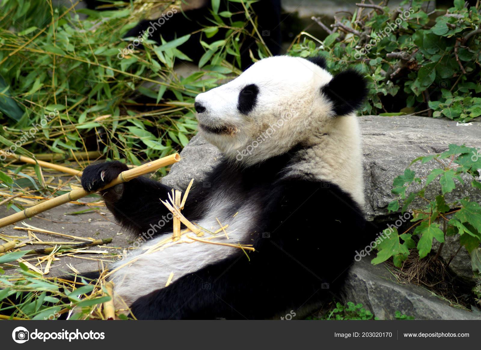 Groer Pandabr Beim Bambus Essen Stock Photo C Spiderwoman81 203020170