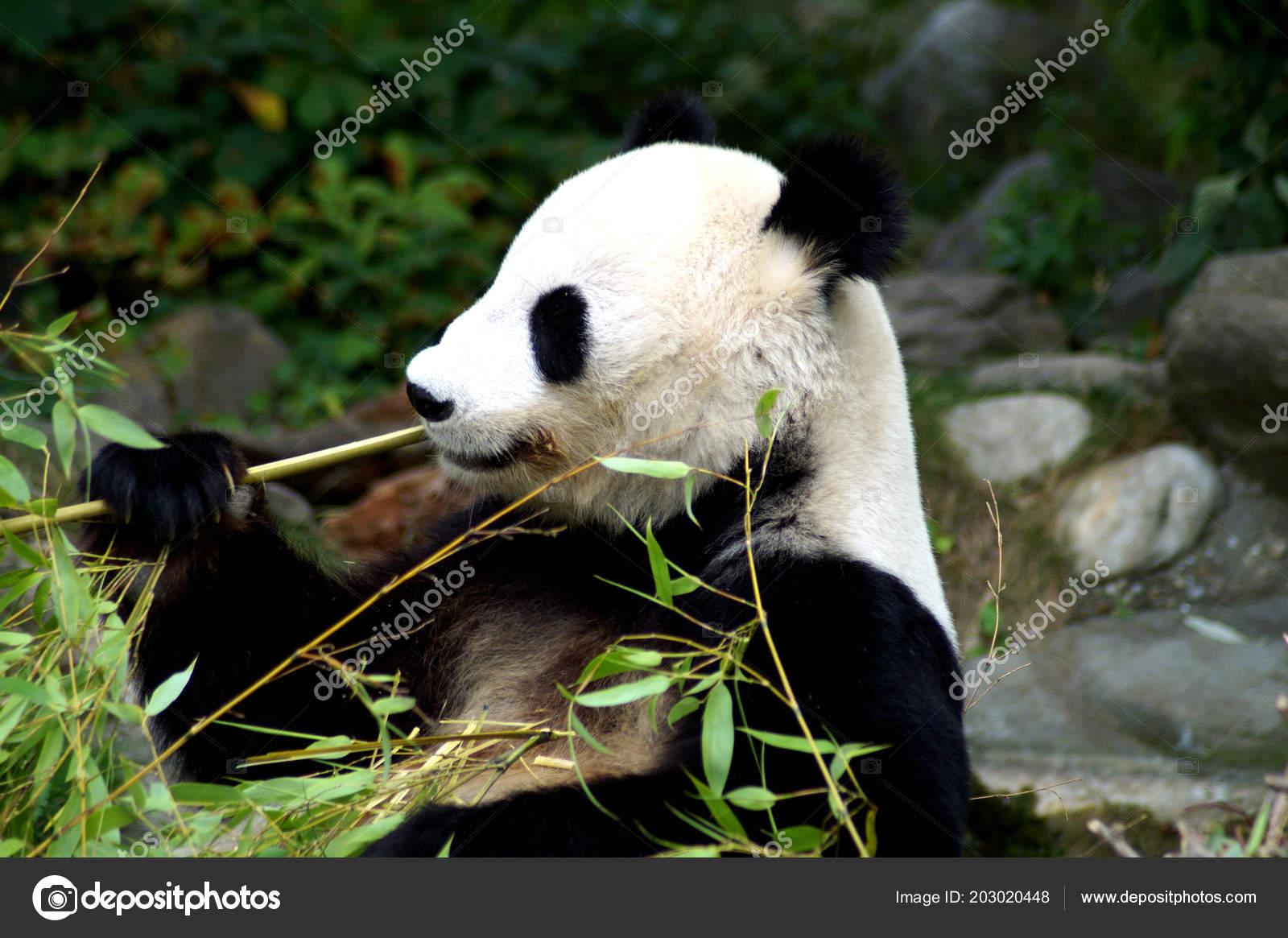Groer Pandabr Beim Bambus Essen Stockfoto C Spiderwoman81 203020448