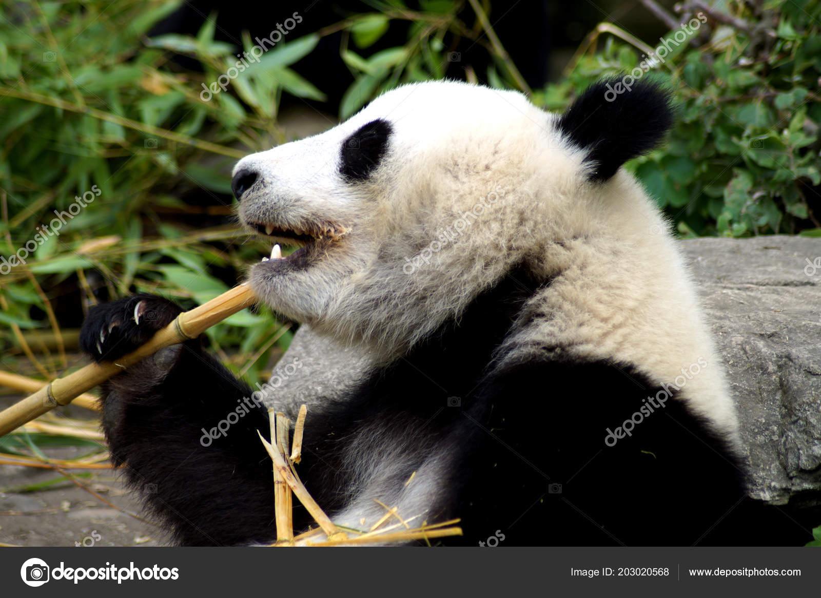 Groer Pandabr Beim Bambus Essen Stock Photo C Spiderwoman81 203020568
