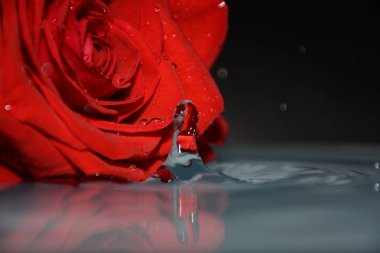 beautiful red rose on water background, 8 march concept