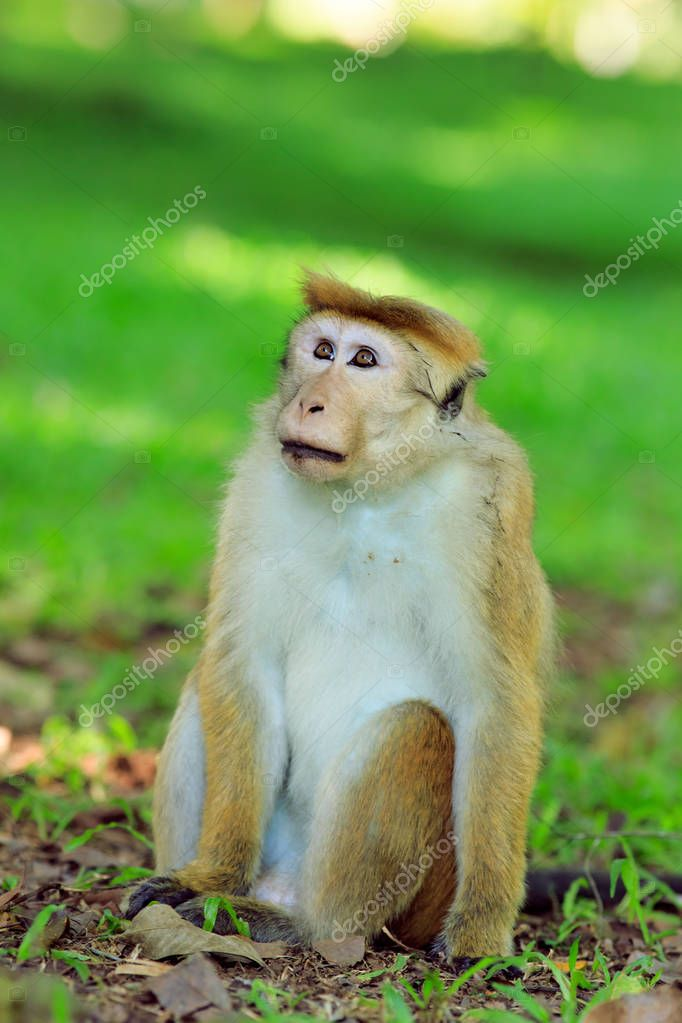 Portrait of male macaque.