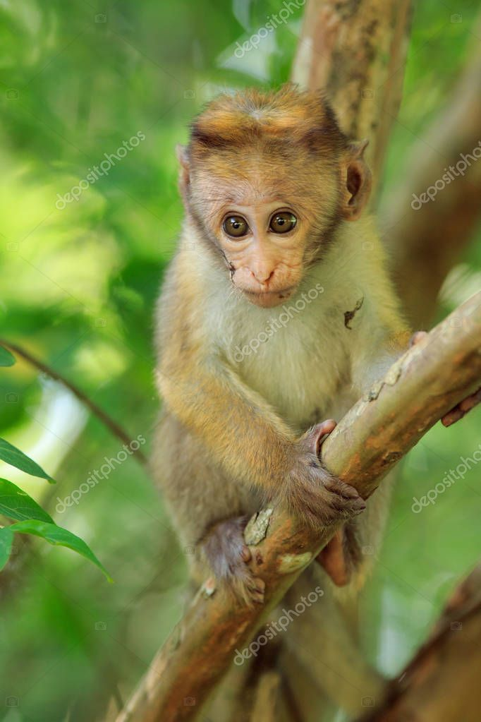 Portrait of male macaque
