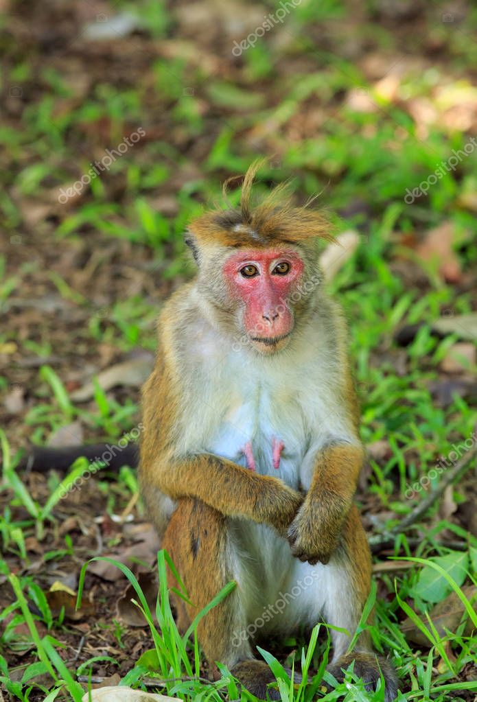 Portrait of macaque female