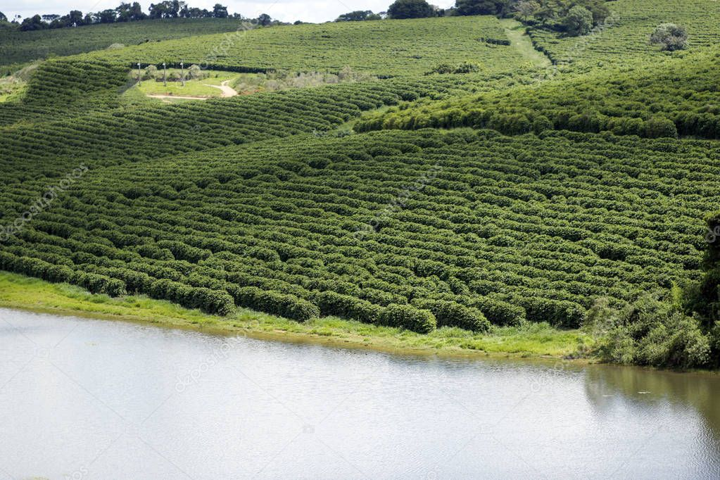 View of Brazilian coffee farm. Coffee plantation. Food industry of coffee. Coffee of Brazil