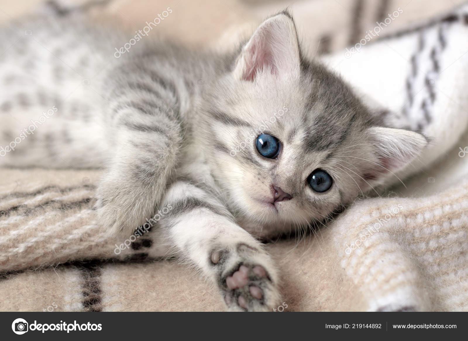 Little Grey Kitten Lying Beige Plaid Little Cute Cat Stock Photo C Innaso4inska 219144892