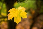 Last autum leaf still clinging to tree, UK