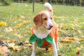 beagle in a pumpkin costume in an autumn park, halloween