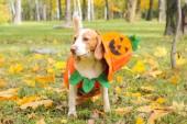Beagle v kostýmu dýně v podzimním parku, halloween