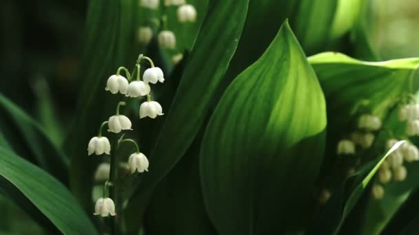 Beautiful flowers of the lily of the valley blossoming in springtime close up outdoors