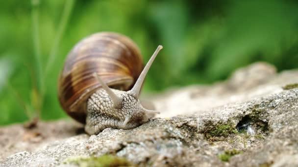 Macro shot of a grape snail creeping along big stone outdoors