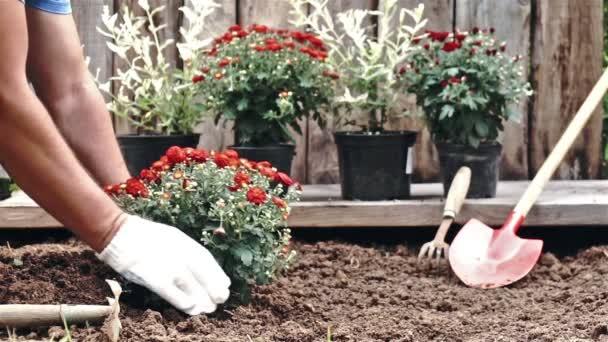 Männliche Hände in Schutzhandschuhen pflanzen einen Strauch einer roten Chrysantheme in die Erde. Zeitlupe
