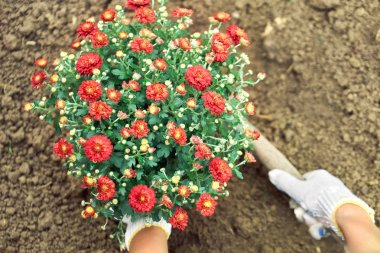 Girls hands planting a bush of red flowers to a ground