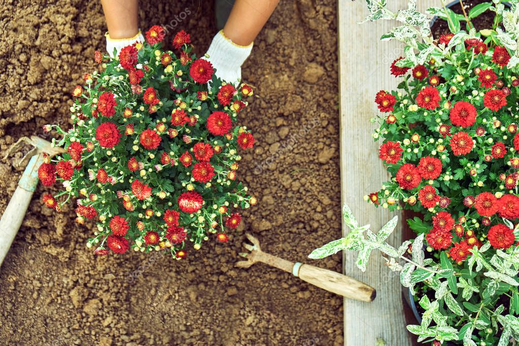 Girl planting a bush of a red chrysanthemum into the ground