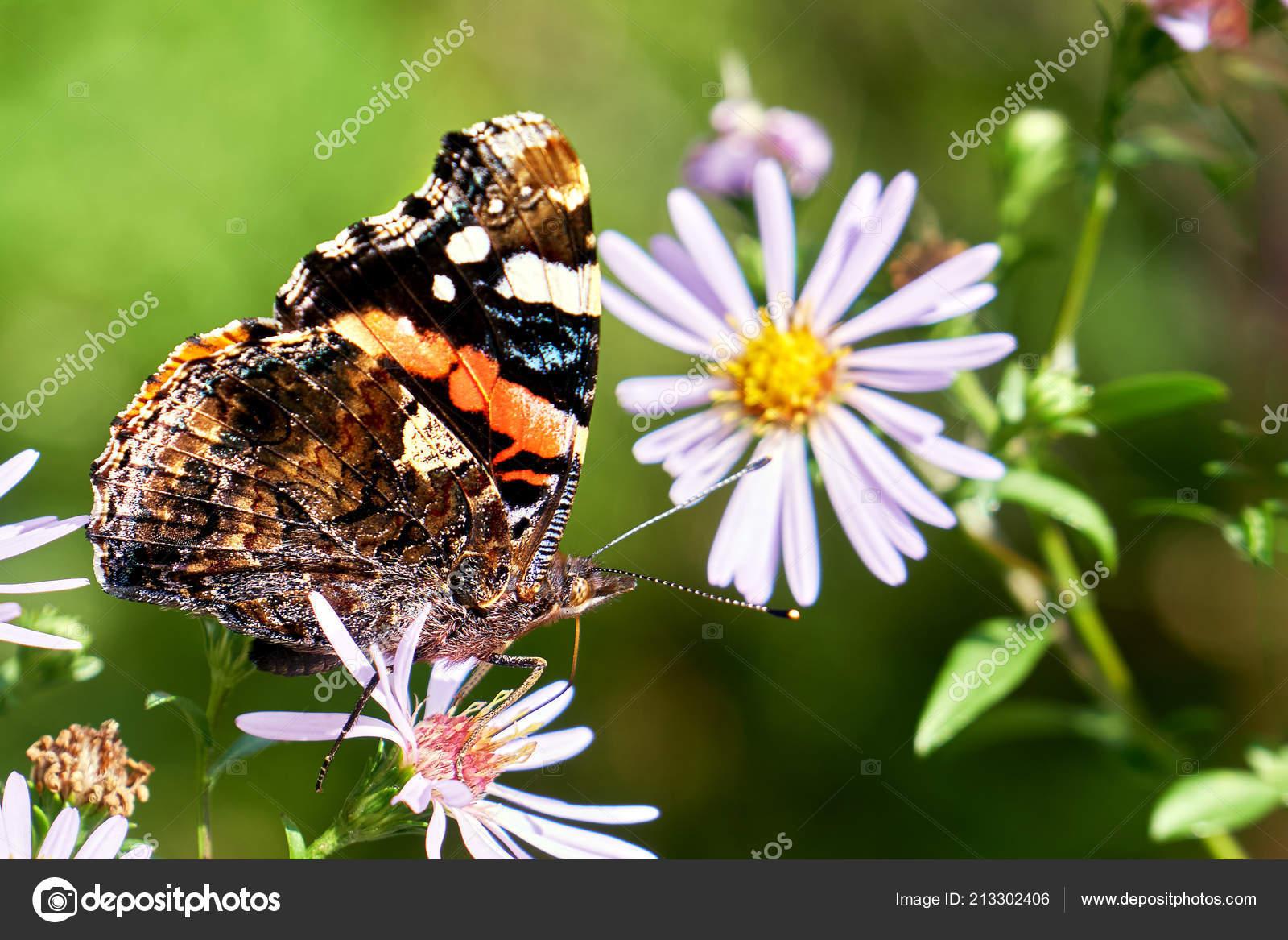 Papillon La Pollinisation D Une Fleur Vivace Aster En Ete
