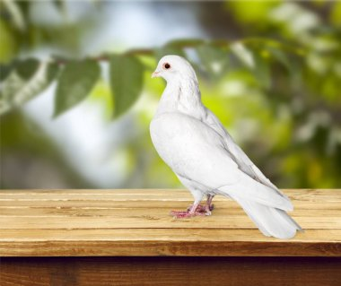 white pigeon dove sits