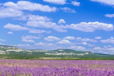 scenic view of violet lavender field