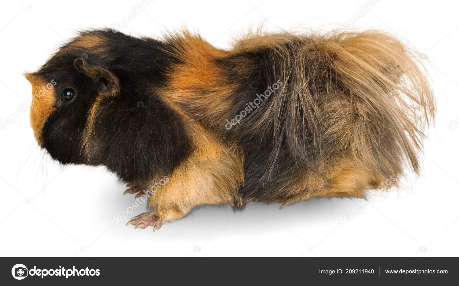 That hairy guinea pig photo