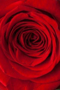 Beautiful red rose tender petals