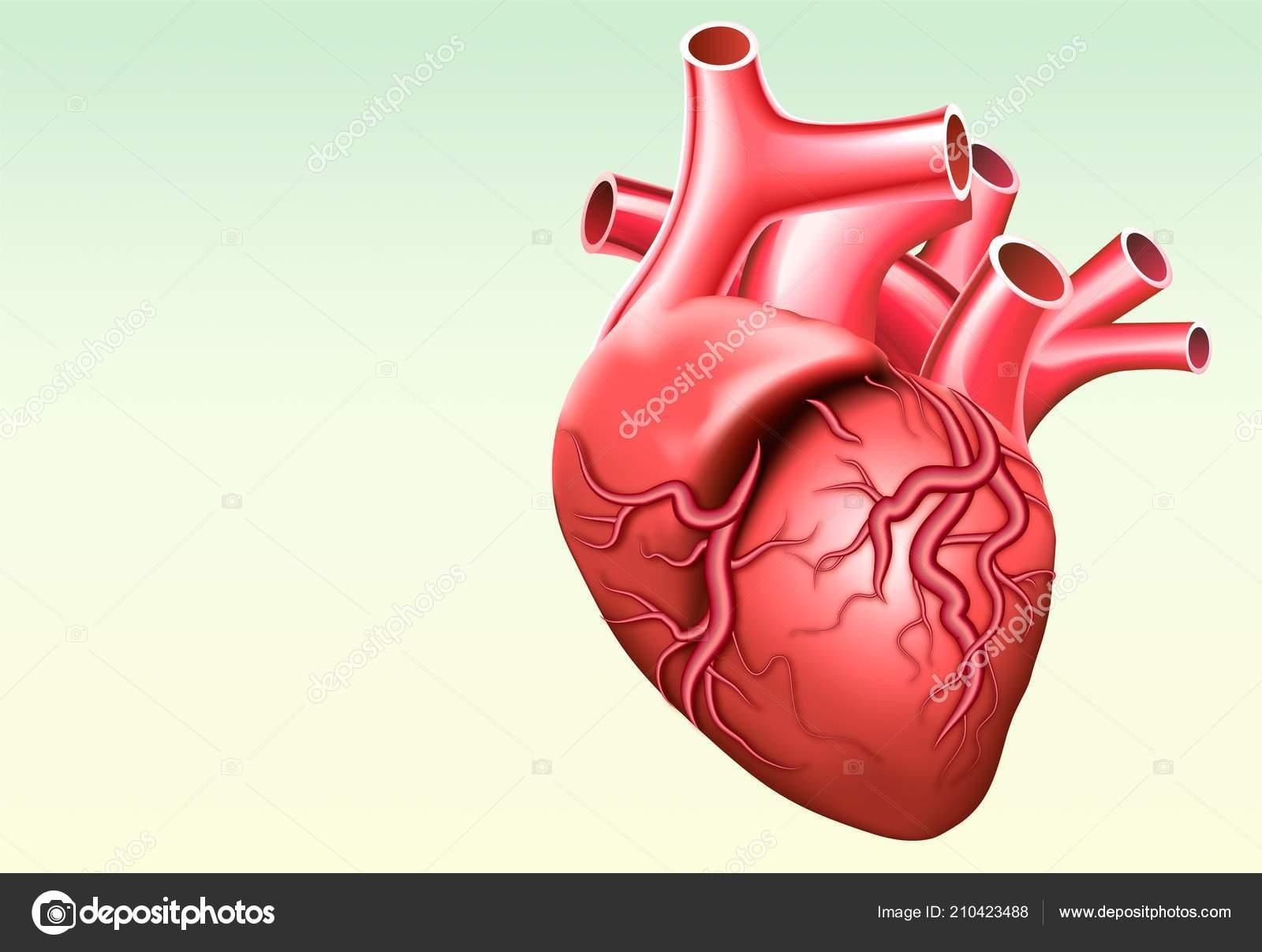Human Heart Anatomy Healthcare Medicine Human Internal Organ Vector