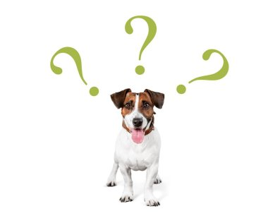 cute confused little dog with question marks isolated on white background