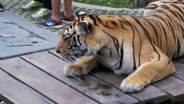 Upoutaný tygr v parku pro fotografování s turisty. Pattaya, Thajsko