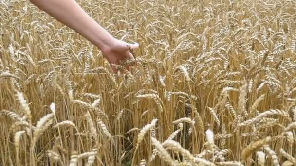 Womans hand moves in spikelets of wheat in the field. Slow Motion