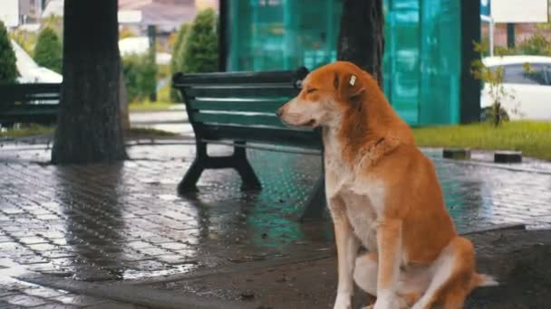 Stray Red Dog sits on a City Street in Rain against the Background of Passing Cars and People