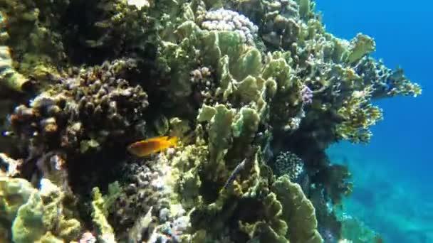 Podvodní korálový útes s pestrými tropickými rybami v Rudém moři. Egypt.