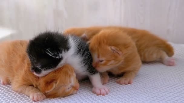 Little Fluffy Four Kittens are Two Weeks Old, Crawling Around on a White Rug