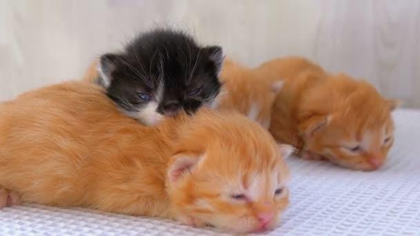 Kicsi bolyhos cica van kettő hét régi, mászik körül-ra egy fehér szőnyeg.