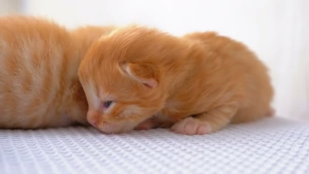 Little Fluffy Red Kittens are Two Weeks Old, Crawling Around on a White Rug