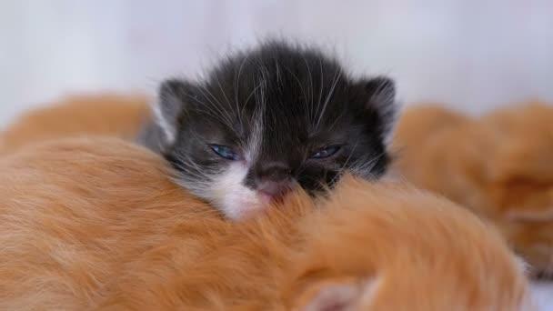 Malý Chlupaté koťata jsou dva týdny staré, plazí se kolem bílého koberce.