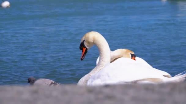 Der große weiße Schwan, Cygnus olor, sitzt am blauen See. Genf, Schweiz