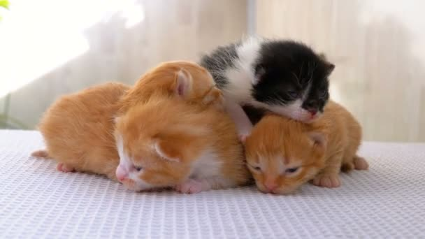 Little Fluffy Kittens are Two Weeks Old, Crawling Around on a White Rug.