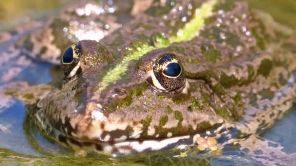 Zelená Žabka v řece. Close-up. Portrét obličeje z ropucha ve vodě s vodními rostlinami