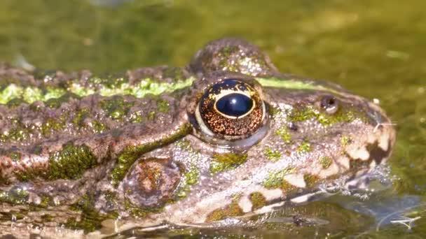 Zöld béka a folyó Blinks egy szem. Közeli. Portré arca varangy a vízerőművek