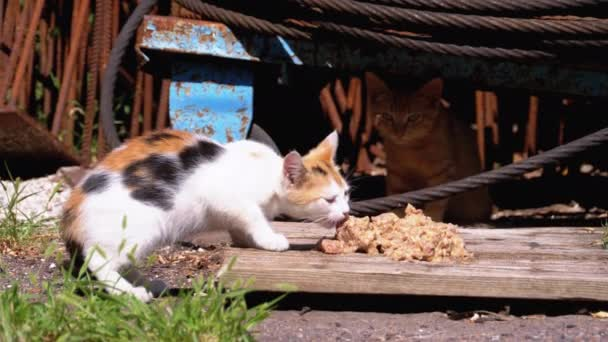 obdachlose, wilde Trikolore-Kätzchen, die auf der Straße an der Mülldeponie Fleisch essen. Streunende Tiere füttern