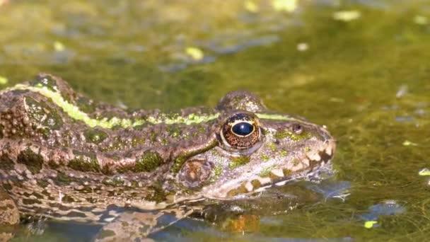 Zöld béka a folyón. Közeli. Portré arca varangy vízben a víz növények